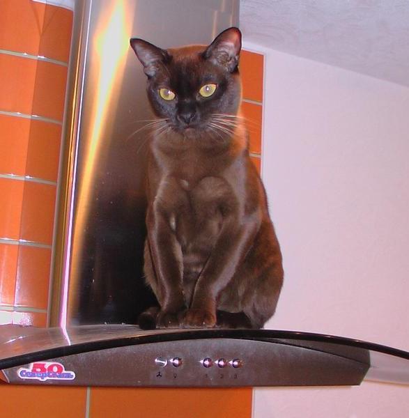 Бурманская кошка - бурма.jpg